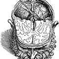 Vesalius: Brain, 1543 by Granger