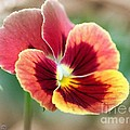 Viola Named Penny Red Blotch by J McCombie