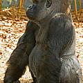 Western Lowland Gorilla Male by Millard H. Sharp