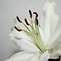 White Lily In Macro by Carole-Anne Fooks