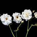 5 White Roses On Black by Matthias Hauser