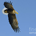 White-tailed Eagle by John Shaw