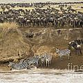 Wildebeests Crossing Mara River, Kenya by John Shaw