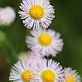 Wildflower Named Robin's Plantain by J McCombie