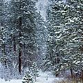 Winter In Pike National Forest by Steve Krull