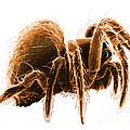 Wolf Spider by David M. Phillips