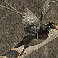 Wood Duck  by Rob Mclean