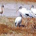 Wood Storks by Robert Floyd