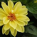 Yellow Dahlia by Ellen Henneke