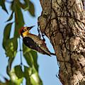 Yellow-fronted Woodpecker  Melanerpes by Leonardo Mer�on
