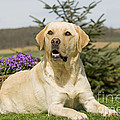 Yellow Labrador by Jean-Michel Labat