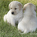 Yellow Labrador Puppy by Linda Freshwaters Arndt