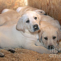 Yellow Labrador Retriever Puppies by Linda Freshwaters Arndt