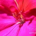 Zonal Geranium Named Tango Neon Purple by J McCombie