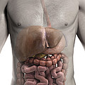 The Digestive System by Science Picture Co