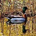 5.4.2014 Wild Mallard by Daniel Thompson