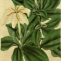 Botanical Print By Sir William Jackson Hooker by Quint Lox