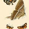 Butterflies by English School