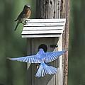 Eastern Bluebird by Jack R Brock