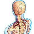 Upper Body Anatomy by Pixologicstudio/science Photo Library