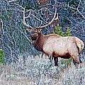 Elk by Elijah Weber