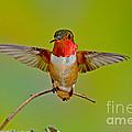 Allens Hummingbird by Anthony Mercieca