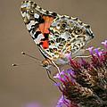 American Painted Lady Butterfly by Karen Adams