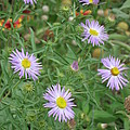 6 Asters Left by Ron Monsour