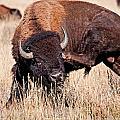 Bison by Elijah Weber