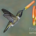 Black-chinned Hummingbird by Anthony Mercieca