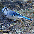 Blue Jay by Lori Tordsen