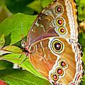 Blue Morpho Butterfly by Millard H Sharp