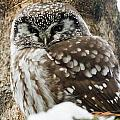 Boreal Owl Pictures by Owl Images