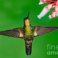 Buff-winged Starfrontlet by Anthony Mercieca