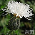 Centaurea Named The Bride by J McCombie