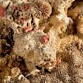 Cheilostomata Bryozoan by Natural History Museum, London