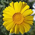 Crown Daisy Flower by George Atsametakis