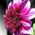 Dahlia Named Blue Bayou by J McCombie