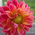 Dahlia Named Brian's Sun by J McCombie