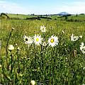 Daisies by Les Cunliffe
