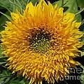 Dwarf Sunflower Named Teddy Bear by J McCombie