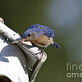 Eastern Bluebird by Linda Freshwaters Arndt