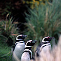 Falkland Islands Penguins by Kevin Moloney