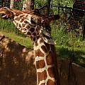 Giraff by Tinjoe Mbugus