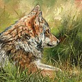 Grey Wolf by David Stribbling