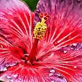 Hibiscus by Joyce Baldassarre