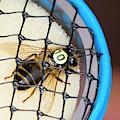 Honeybee Radar Tagging by Louise Murray