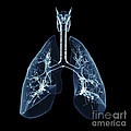 Human Lungs by Science Picture Co