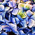 Hydrangea by Joyce Baldassarre