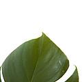 Leaf by Scott Sanders